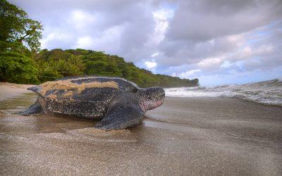 Leatherback Turtle Watching in Trinidad
